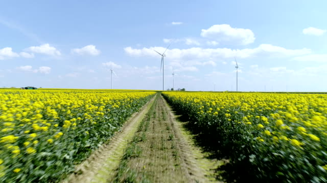 Rape plants blooming on a large field. Wind turbines in background
