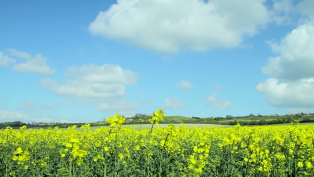 ws pan rape plants blowing in wind / ashford, kent, united kingdom - イングランド ケント点の映像素材/bロール