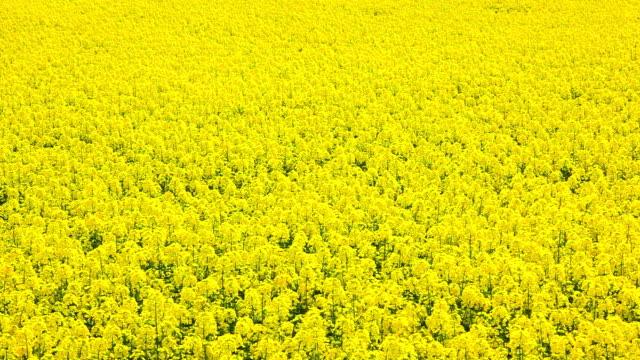rape seed field - mustard stock videos and b-roll footage