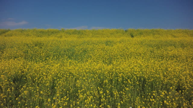 rape-flowers - satoyama scenery stock videos and b-roll footage