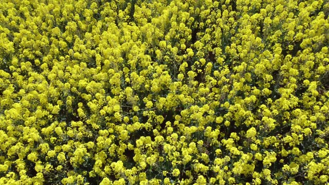 rapeseed blooms in a field close to the town of somerton, on may 2, 2021 in somerset, england. the vibrant yellow blossom of rapeseed, or oilseed... - crucifers stock videos & royalty-free footage