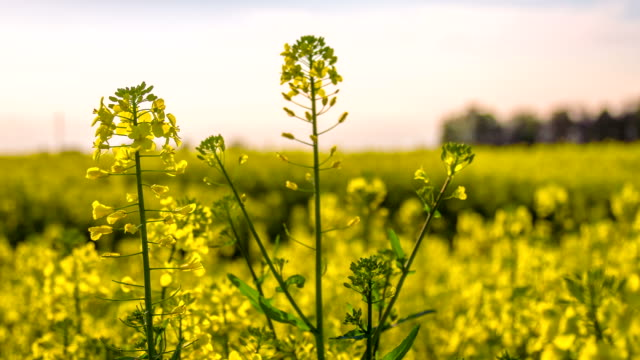 HD DOLLY: Rapeseed Blossoms