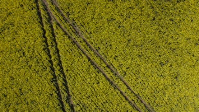 Rapeseed Field - Descending Rotation