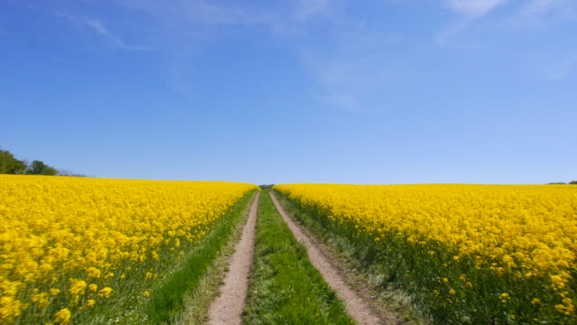 pov of rapeseed field in early summer - sentiero video stock e b–roll