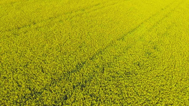 aerial rapeseed field in spring flyover (4k/uhd) - canola stock videos and b-roll footage