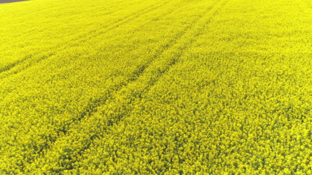 rapeseed field in spring flyover - oilseed rape stock videos & royalty-free footage