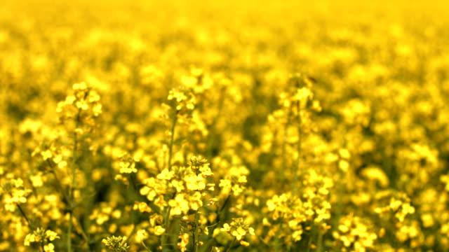 cu rapeseed field in spring rack focus - oilseed rape stock videos & royalty-free footage