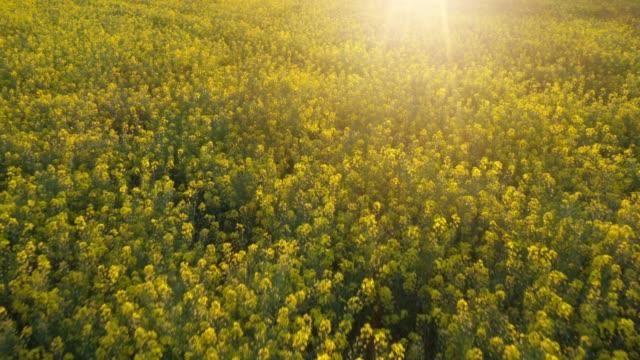 vídeos de stock, filmes e b-roll de rapeseed field - tela cheia