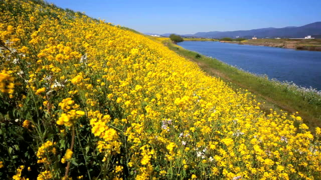 Rapeseed field with Houman river in Kyusyu Japan.