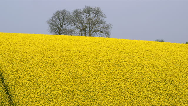 rapeseed fields - crucifers stock videos & royalty-free footage