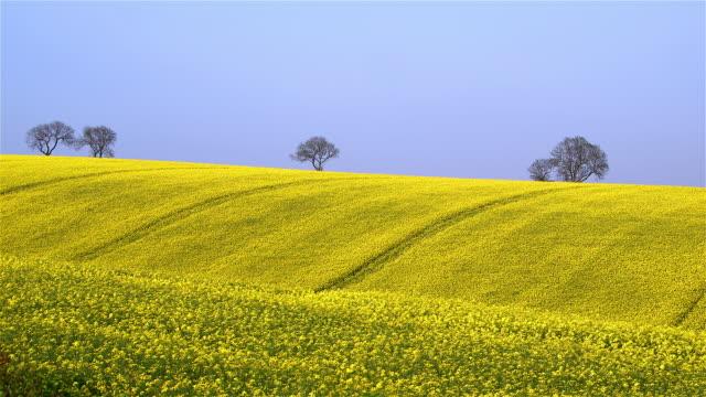 rapeseed fields - oilseed rape stock videos & royalty-free footage