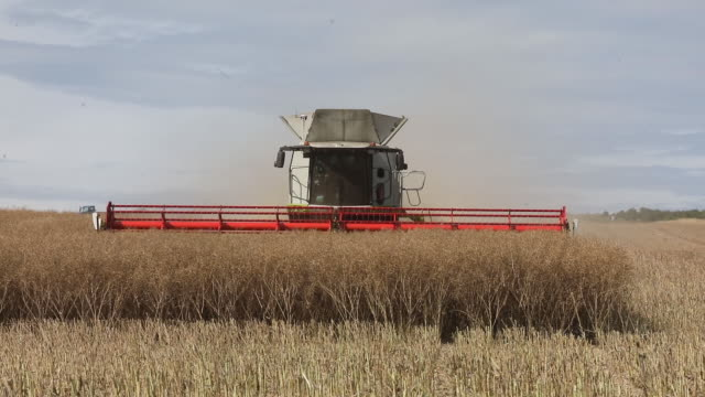 stockvideo's en b-roll-footage met rapeseed harvest in ramsgate kent uk on monday july 13 2020 - bedektzadigen