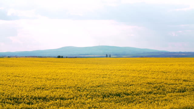 rapeseed oil plant field - rapeseed oil stock videos and b-roll footage