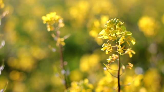 rapeseed (brassica napus) - crucifers stock videos & royalty-free footage