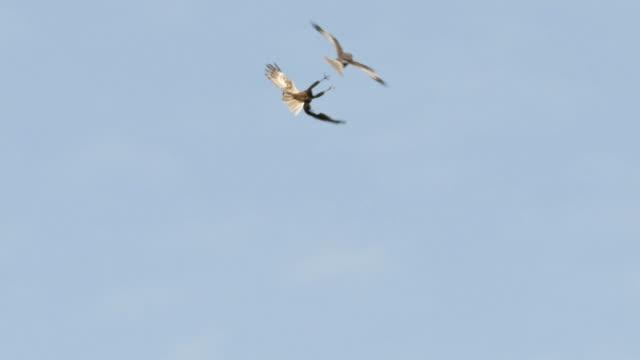 raptors fighting - lake neusiedl - 2匹点の映像素材/bロール