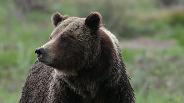 ts  rare 4k portrait shot of famous grizzly bear #399  (ursus arctos) - bear stock videos and b-roll footage