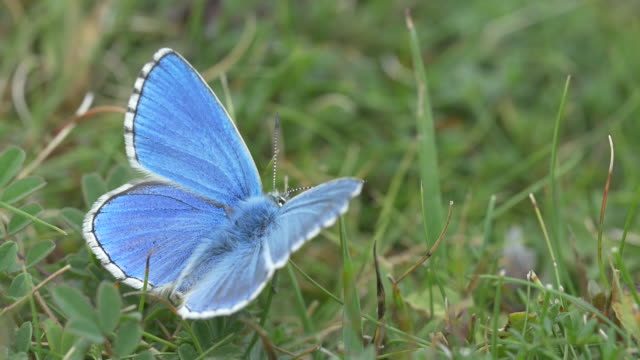 Rare Adonis Blue butterfly sitting on grass