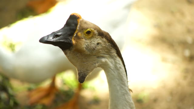 a rare and ugly duck - ugliness stock videos & royalty-free footage