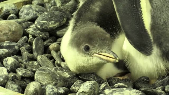 a rare baby gentoo penguin has been born at the national sea life centre in birmingham the chick whose parents travelled thousands of miles by... - rare stock videos & royalty-free footage