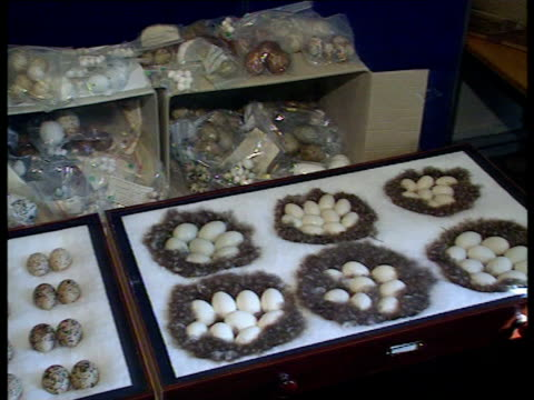 rare bird eggs prosecution bnaf wilts salisbury cms illegal collection of rare birds eggs on display pan lr cms ditto cms trays of eggs pan lr cs eggs - prosecution stock videos & royalty-free footage