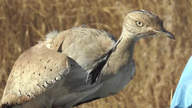 rare bird injured while passing over eastern turkey has been taken under treatment at a university in van province. the houbara bustard also known as... - bird hunting stock videos & royalty-free footage