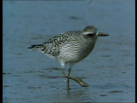 rare birds and missile testing base; tcms dunlin bird - sandpiper stock videos & royalty-free footage