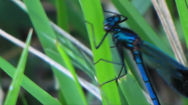 rare blue dragonfly among blades of grass: extreme close-up - blade of grass stock videos & royalty-free footage