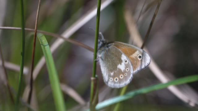 rare butterfly species reintroduced to wild at peat bog near manchester; england: greater manchester: salford: chat moss: ext gv common cottongrass... - animal hair stock videos & royalty-free footage