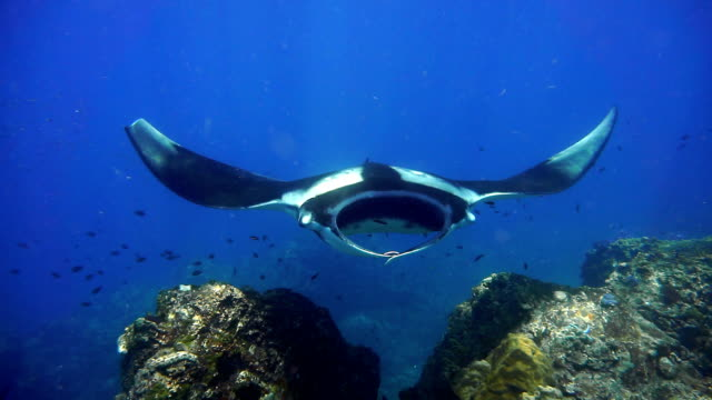 Rare close-up underwater encounter with Endangered Species Oceanic Manta Ray (Manta birostris)