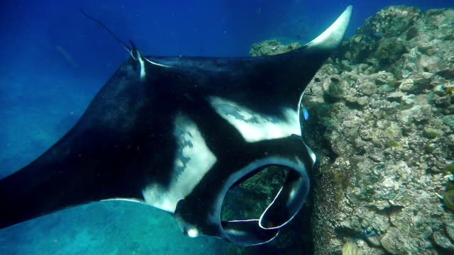 rare close-up underwater encounter with endangered species oceanic manta ray (manta birostris) - symbiotic relationship stock videos & royalty-free footage