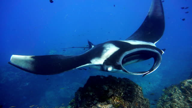 rare close-up underwater encounter with endangered species oceanic manta ray (manta birostris) - 40 o più secondi video stock e b–roll