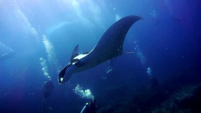 rare close-up underwater encounter with endangered species oceanic manta ray (manta birostris) - bucket list stock videos & royalty-free footage