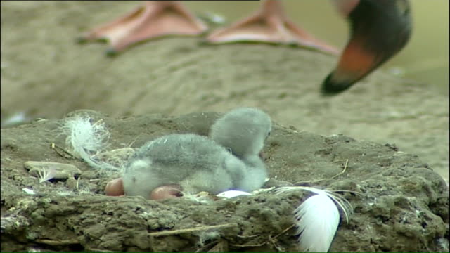 rare flamingo chick hatches on hottest day so far england gloucestershire slimbridge int falmingo chick sitting in nest pink flamingoes in and around... - flamingo chick stock videos & royalty-free footage