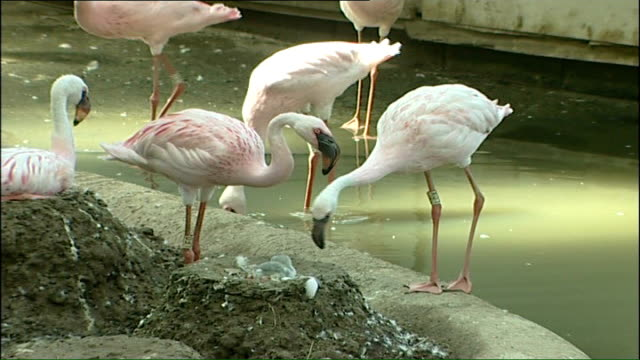 rare flamingo chick hatches on hottest day so far flamingoes at water's edge next to mud nest where chick is sitting - flamingo chick stock videos & royalty-free footage