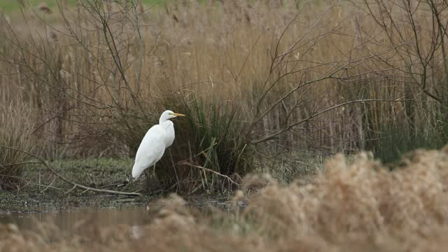 a rare great white egret, ardea alba, standing on the bank of a marshy area. - egret stock videos & royalty-free footage