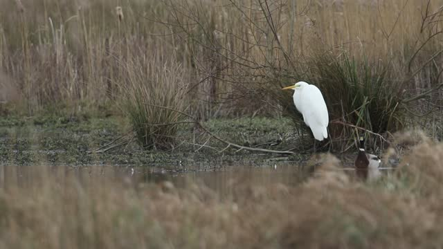 a rare great white egret, ardea alba, standing on the bank of a marshy area preening. - egret stock videos & royalty-free footage