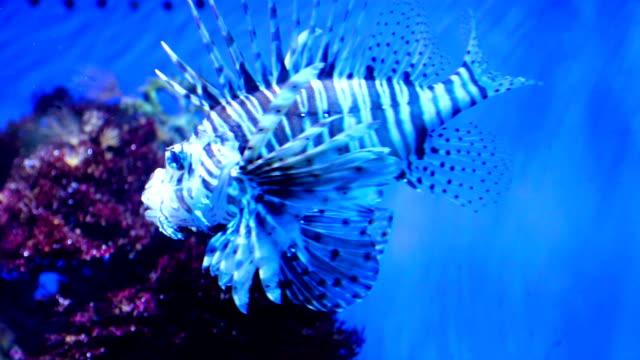 Rare lionfish swimming