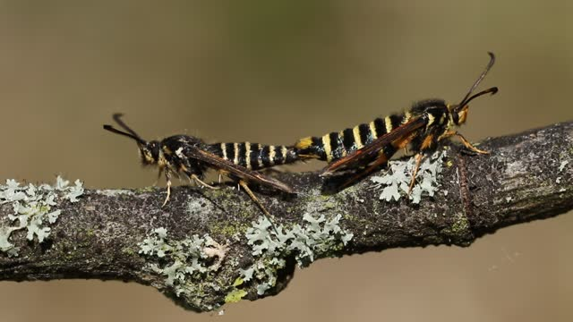 a rare pair of mating six-belted clearwing moth, bembecia ichneumoniformis, perching on a twig. - twig stock videos & royalty-free footage