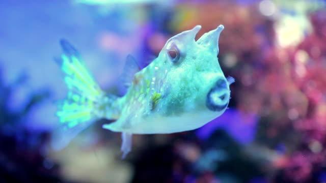 rare sea fish longhorn cowfish (lactoria cornuta) - threatened species stock videos & royalty-free footage