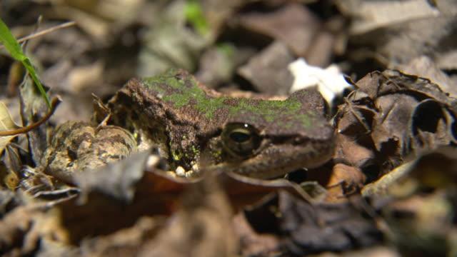 vidéos et rushes de rare species in tokunoshima island - camouflage