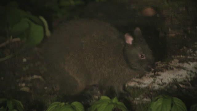 vidéos et rushes de rare species of wild animals in tokunoshima island - rongeur