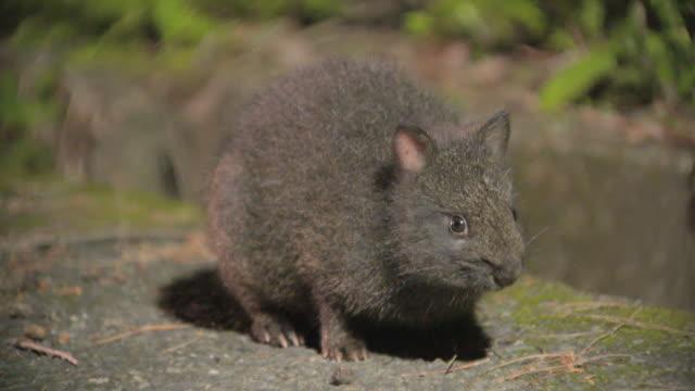 rare species of wild animals in tokunoshima island - rabbit animal stock videos & royalty-free footage