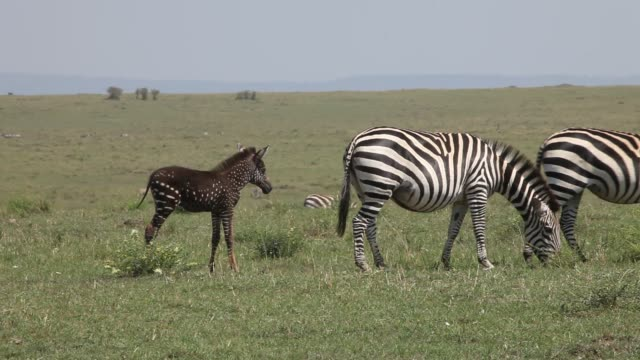 stockvideo's en b-roll-footage met rare spotted zebra foal - stippen