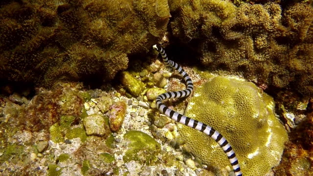 rare underwater footage of banded sea krait snake (laticauda colubrina) hunting - toxic substance stock videos & royalty-free footage