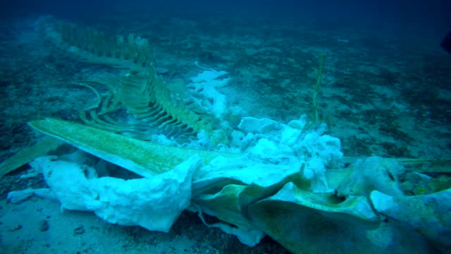 rare whale skeleton and scuba diver underwater - animal themes stock videos & royalty-free footage