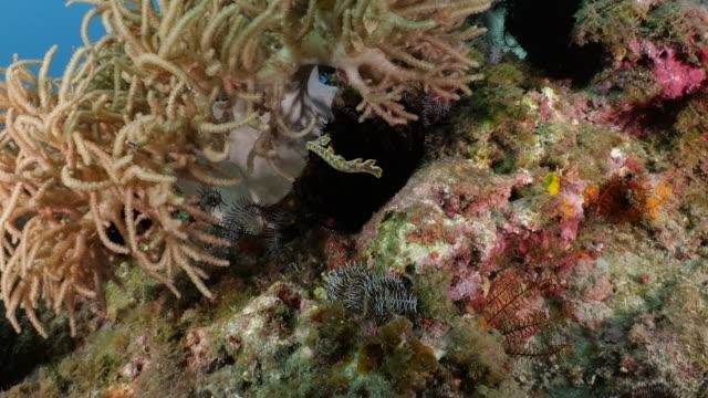 rarely seen: a bornella sea slug swimming at undersea reef - corallo molle corallo video stock e b–roll