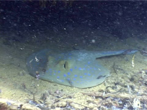 ras mohammed national park, red sea, bluespotted ribbontail ray (taeniura lymma) resting on seabed. - bluespotted stingray stock videos & royalty-free footage