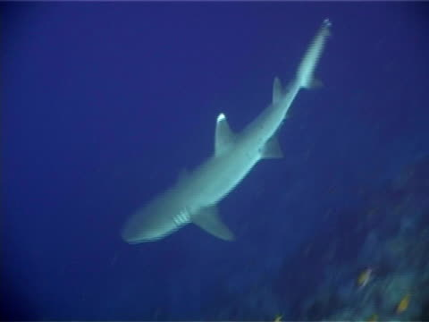 Ras Mohammed National Park, Red Sea, white tip reef shark (Triaenodon obesus) moving over reef.