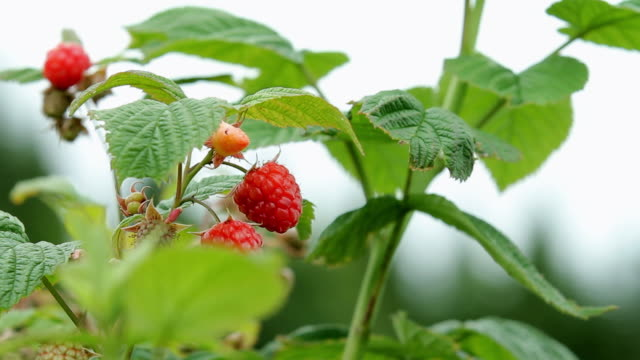 raspberries in a shrub - raspberry stock videos and b-roll footage