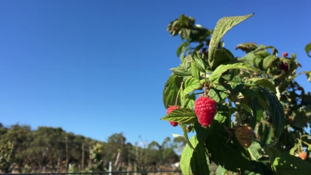 raspberry fruit farm - raspberry stock videos & royalty-free footage